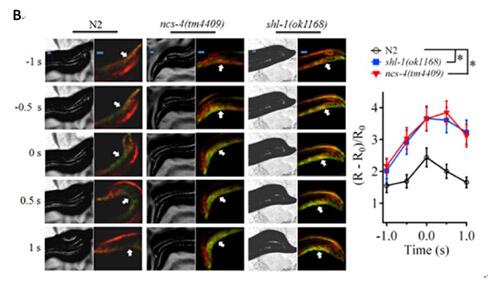 kv4钾离子通道的生成,调控神经元和肌肉细胞的兴奋性