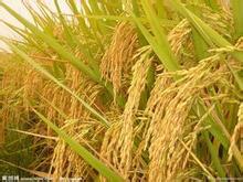 水稻种植施肥技术--贤集网