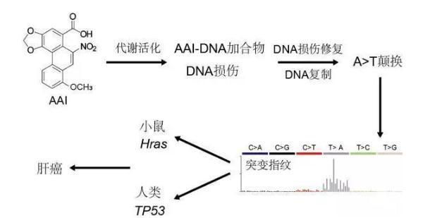 最新实验称首次证实马兜铃酸致小鼠肝癌