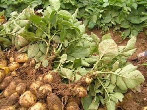 我国马铃薯食品的研制已初具规模