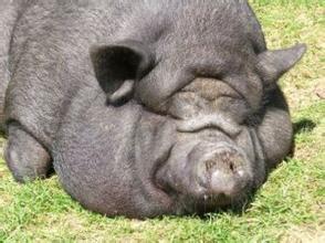 养肥猪饲养管理几要素