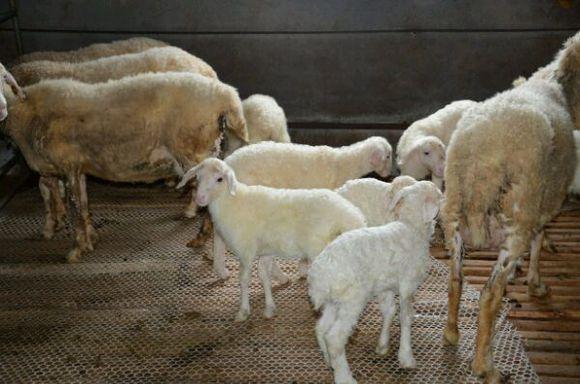 养羊之羔羊补铁技术
