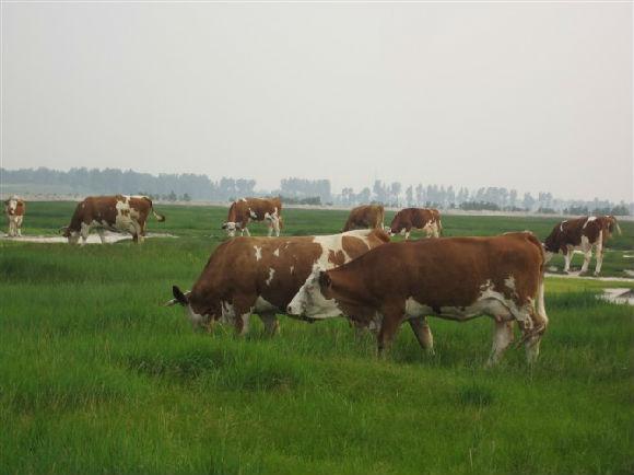 如何科学养殖改良牛