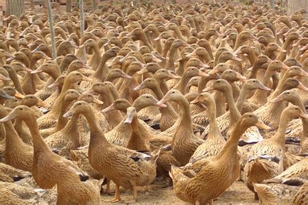 秋季养蛋鸭注意事项