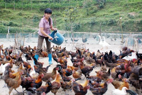 养鸡技术之限制饲喂
