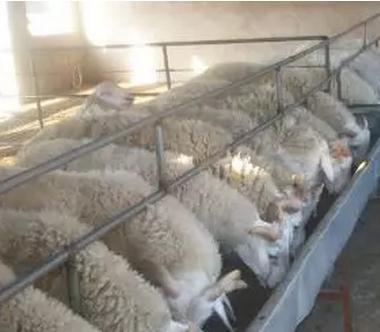 运动对于舍饲羊的重要性