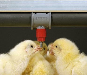 笼养鸡机械化供水方式哪种好