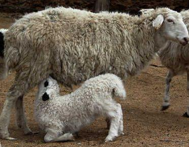 母羊不让小羊吃奶的原因与解决办法
