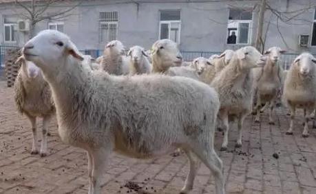 小尾寒羊全套养殖技术