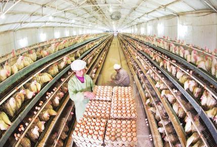 养鸡国家补贴标准