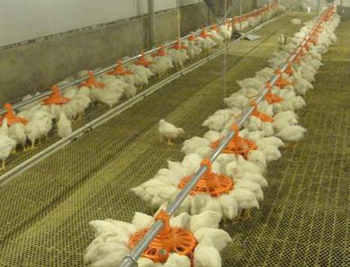 肉鸡的笼养与网上平养哪个好?