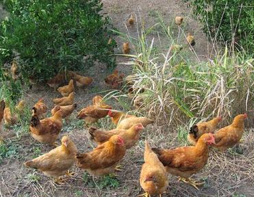 散养土鸡的养殖经验