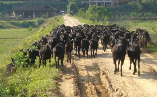 高脚羊繁殖的生产管理要点