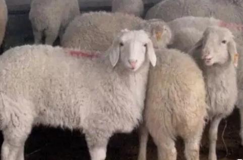 羊群的年龄结构与公羊母羊的配比