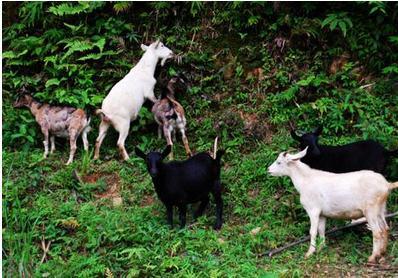 山区养羊模式及技术要点