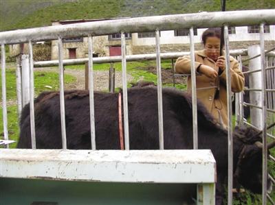 姬秋梅:推动了牦牛科研和牦牛产业的健康发展