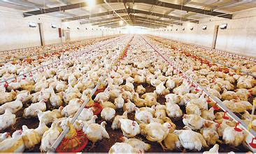 EM原液在肉鸡养殖上的使用方法及功效