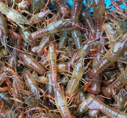 养小龙虾如何留苗