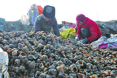 丁字湾畔大海螺养殖面积已达近千亩