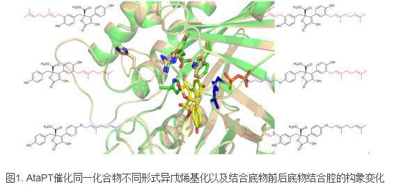 异戊烯基的工具酶在药用活性化合物(天然药物)生物合成的巨大应用前景