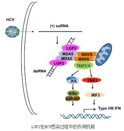 LGP2在丙肝病毒诱导的固有免疫反应中的作用研究