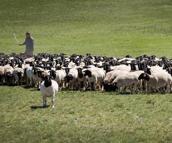 《全国肉羊遗传改良计划(2015—2025)》:国家肉羊核心育种场