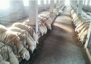 肉羊生长速度慢有哪些原因