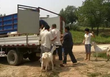 买羊及运输的注意事项介绍