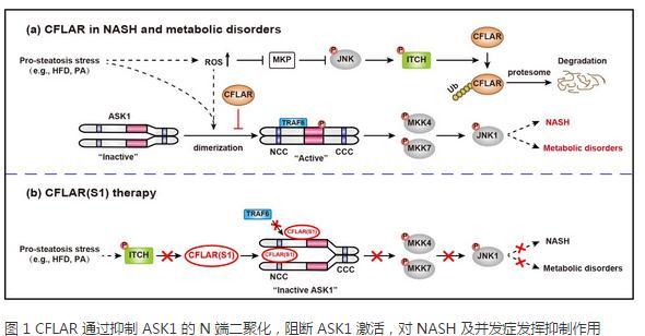 CFLAR 对 NASH 的关键抑制作用