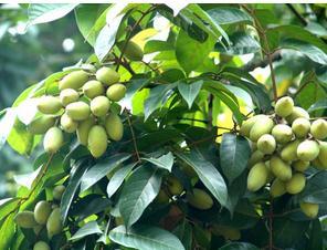 橄榄来源粉末型功能性原料的作用