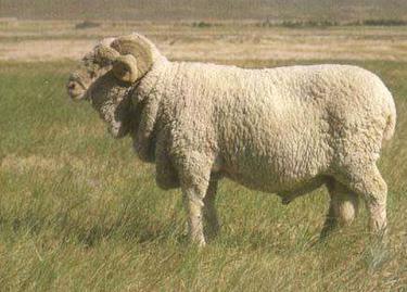敖汉细毛种公羊喂养管理与配种技术