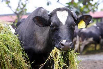 养牛怎么节省草料成本