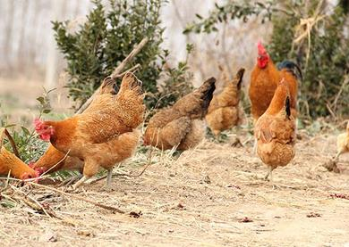 土鸡散养后期育肥技术