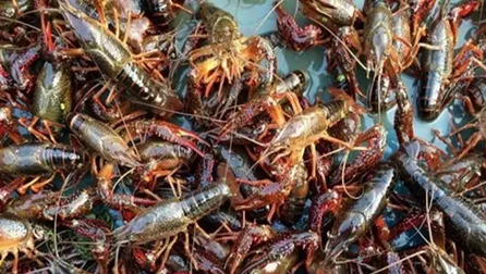 """小龙虾套养河蟹的""""135""""高效益养殖模式"""