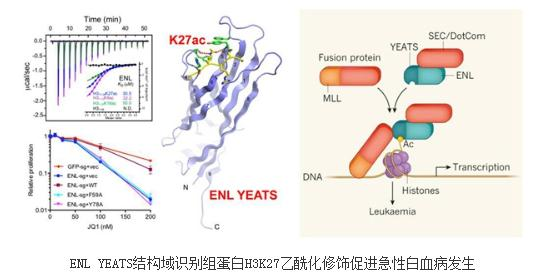 《ENL YEATS结构域关联组蛋白乙酰化至急性髓样白血病致癌基因表达》