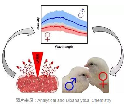"""小鸡性别鉴定师可能被""""卵内""""染色法取代"""