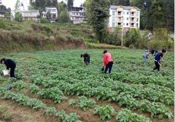 有关于各地区马铃薯的施肥建议