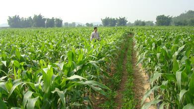 农业部发布最新春玉米施肥建议