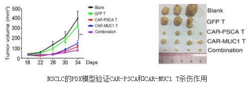 CAR-PSCA和CAR-MUC1嵌合抗原受体T细胞的有效性和特异性