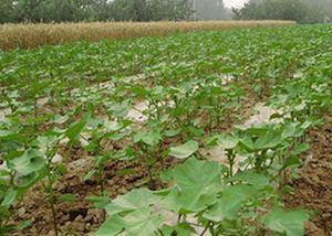 棉花不同地域的施肥方法