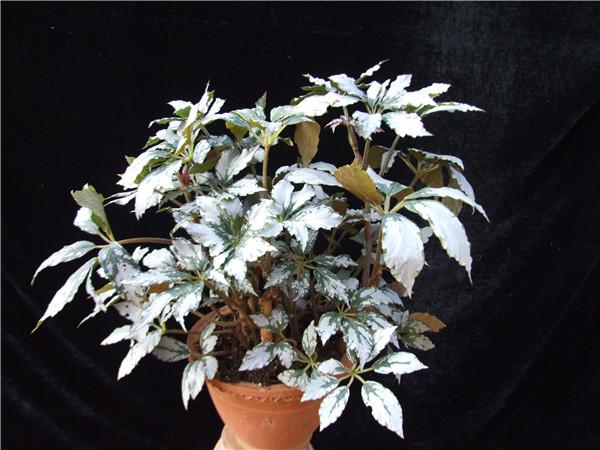 桂云、三裂、健翅、银靓、四个秋海棠新品种