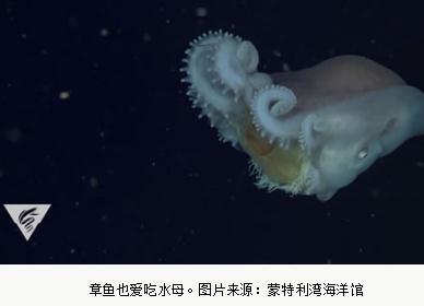 巨型深海章鱼——七胳膊章鱼列入了水母食客的名单