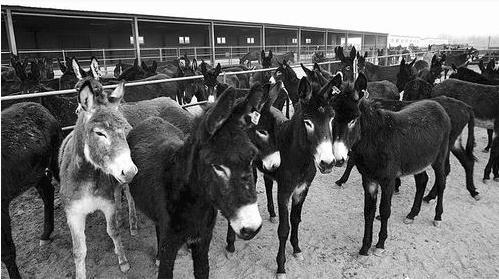 东阿阿胶建设全国首个万头毛驴养殖示范基地