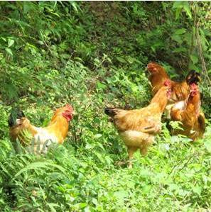 生态健康的肉鸡养殖过程中的关键技术分享