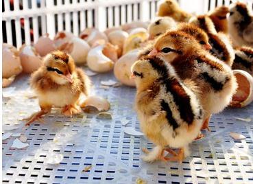 肉鸡养殖:小鸡第一个月怎么养?