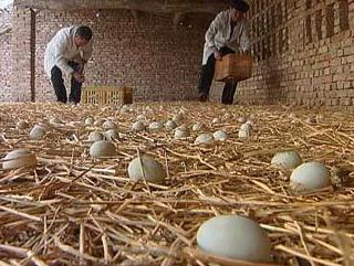 让鸭多产蛋的方法有哪些?