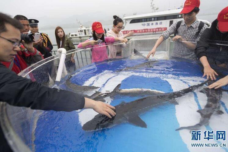 2017年长江三峡中华鲟放流活动:500尾大规格中华鲟放归长江