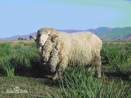 农科院成功培育高山美利奴细毛羊