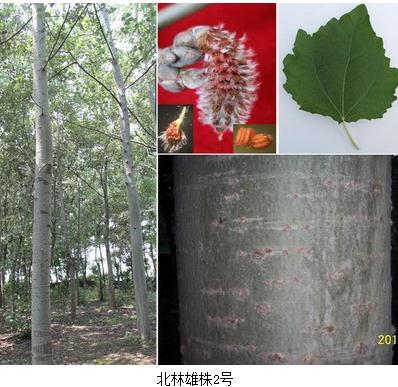 北林雄株1号2号成为有效解决杨树飞絮问题的适宜替换品种