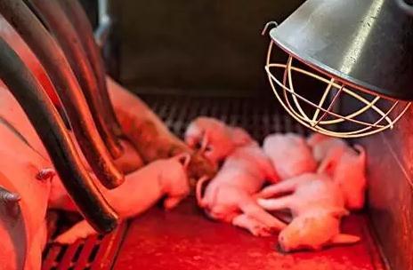 母猪怀孕后期与分娩期、仔猪产后的管理要点